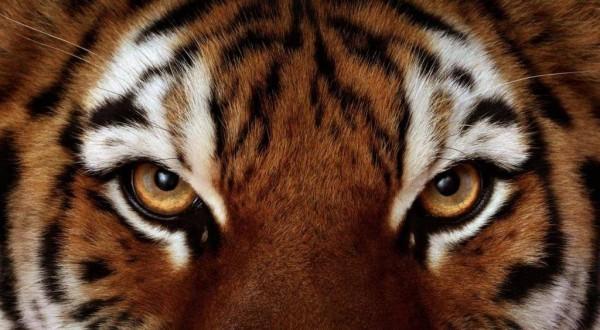 glaza-tigra-foto-1024x563