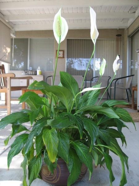 Spathiphyllum1