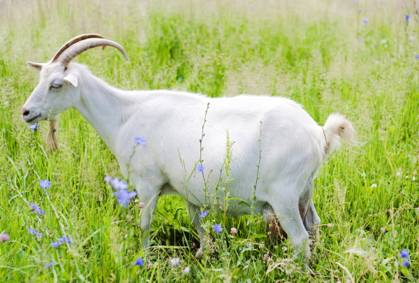goat in the field