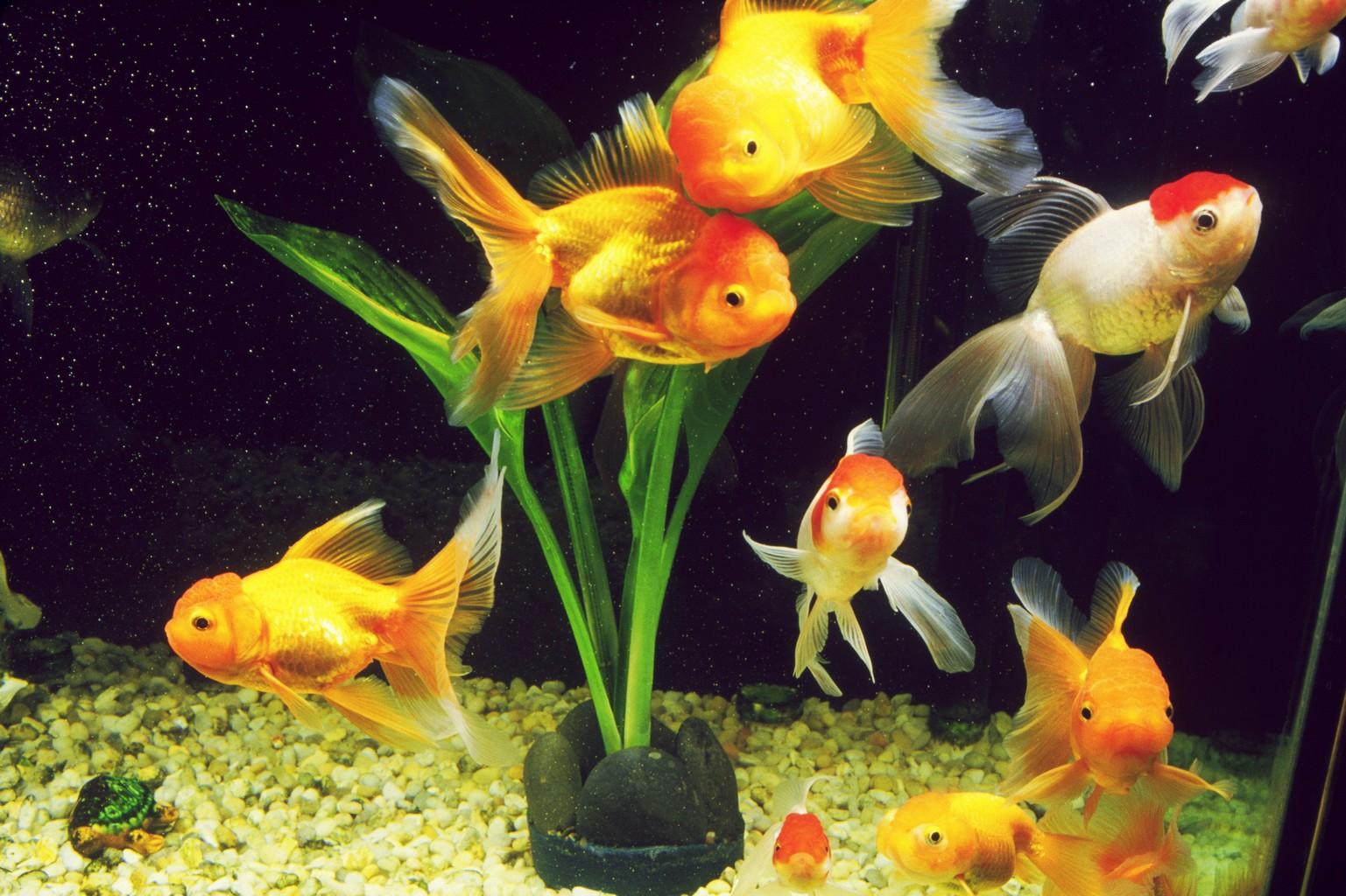 К чему снятся аквариумные рыбки: толкование значения сна по различным сонникам для мужчин и женщин