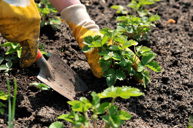 Земляника садовая выращивание и уход после сбора урожая 100