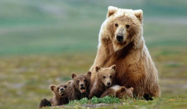 Grizzly bear sow with four cubs near Moraine Creek, Katmai National Park, Alaska