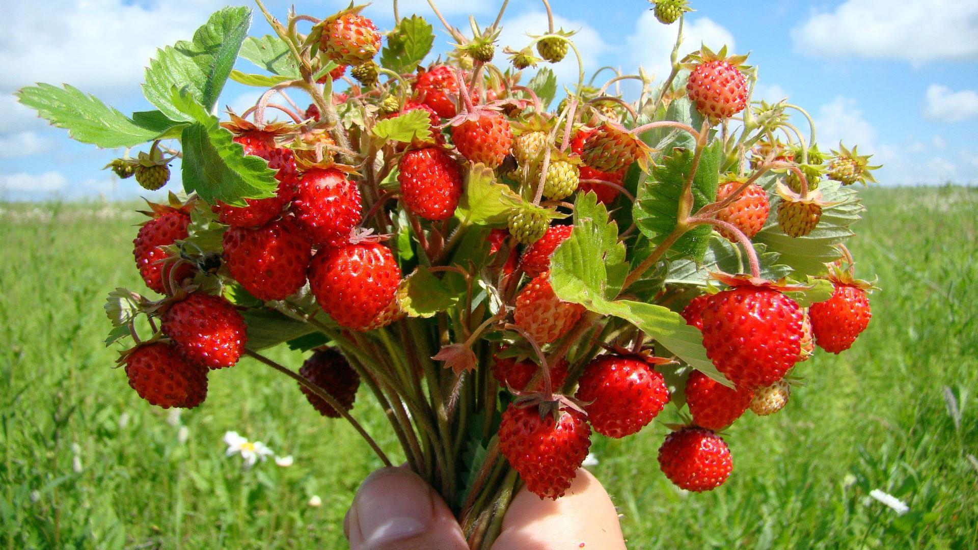 37 лучших сортов садовой земляники крупноплодные новые