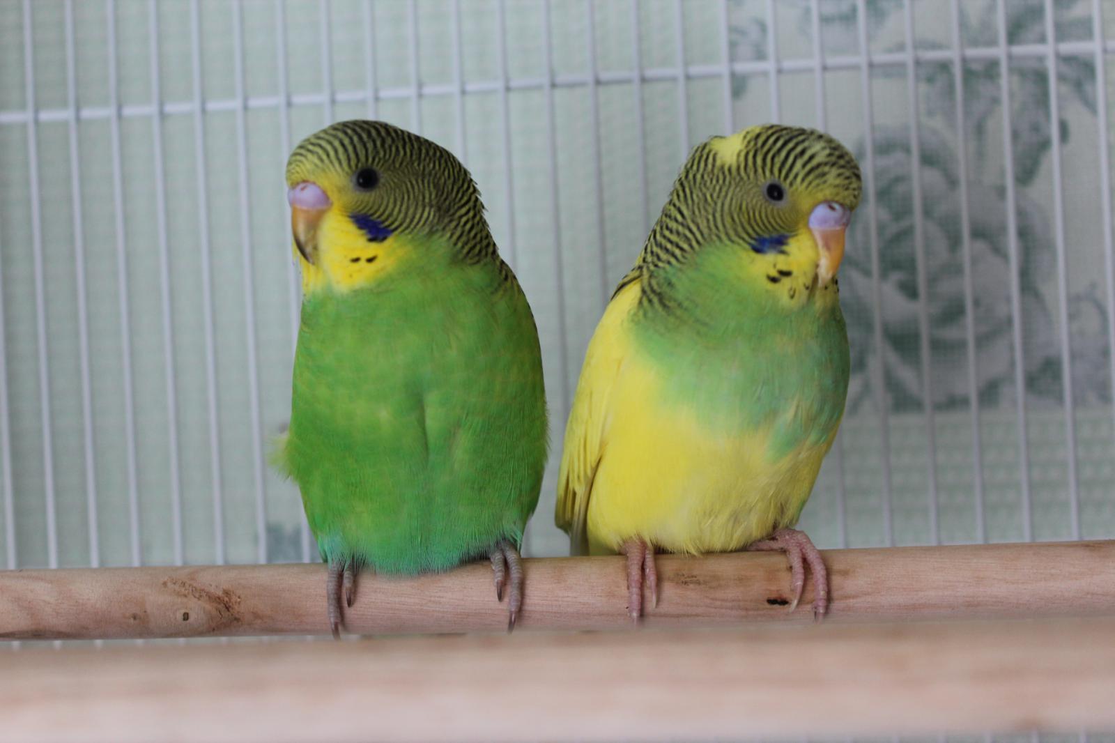 Попугаи фото домашних условиях