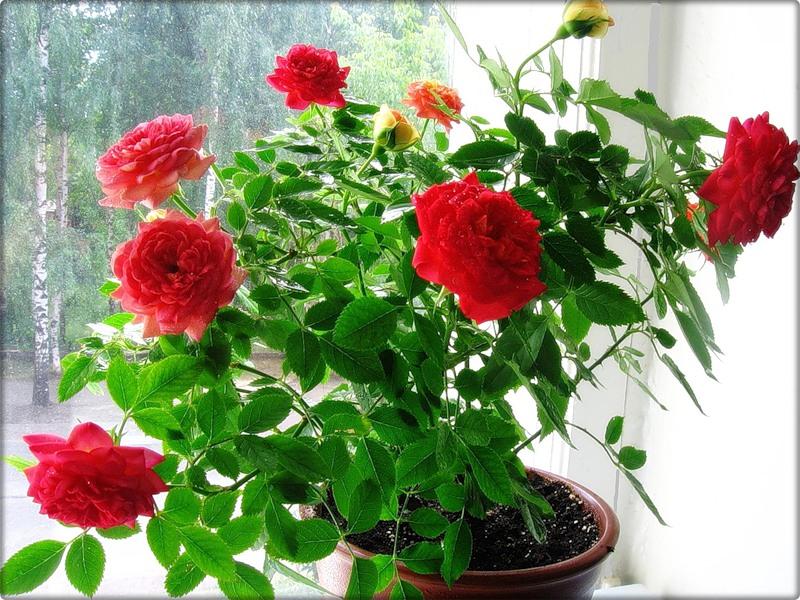 Фото цветка домашняя роза 45