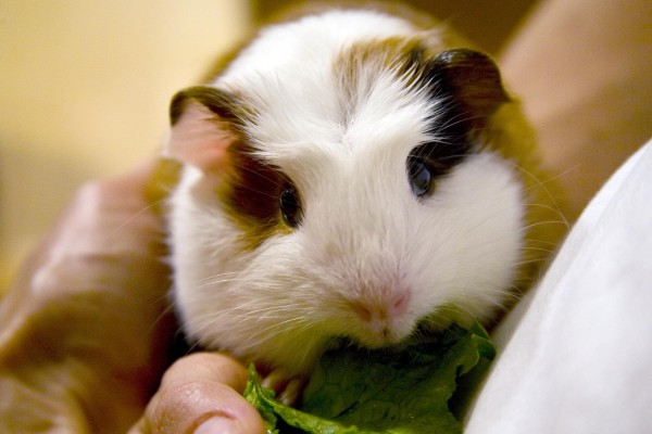 Young guinea pig having a snack of some lettuce while beign held.