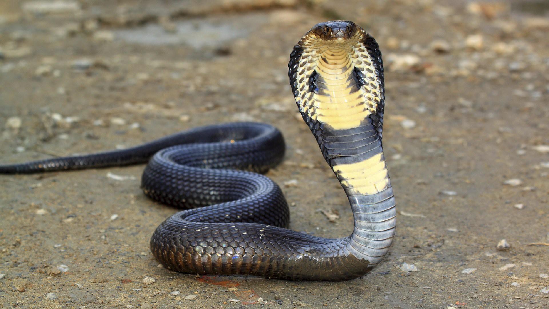 Совместимость Крысы и Змеи — сложный союз